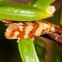 Pale Juniper Webworm Moth - Aethes rutilana