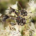 Unknown Conopinae - Physocephala tibialis - male