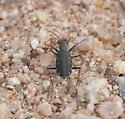 Presumably punctulata - Cicindelidia punctulata