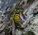 Unknown Dipteran - Somula decora