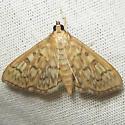 Bold-feathered Grass Moth - Hodges#5275 - Herpetogramma pertextalis