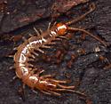stone centipede - Lithobius melanops