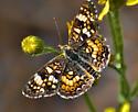 GORGONE CHECKERSPOT ?  - Phyciodes pulchella - male
