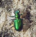 Festive Tiger Beetle - immaculate green form - Cicindela scutellaris