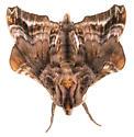 Small-eyed Sphinx Moth - Paonias myops