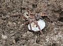 big brown spider - Gladicosa gulosa - female