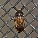Beetle 2012.01.25.13386 - Mycetophagus pluripunctatus