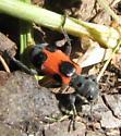 Beetle - Enoclerus eximius