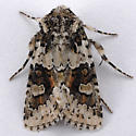 Unknown Noctuid - Lacinipolia strigicollis