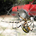 Argiope Wrapping Bag Lunch - Argiope aurantia - female