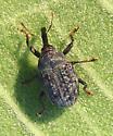 dark weevil - Rhyssomatus lineaticollis