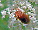 Orange Beetle - Isomira sericea