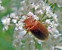 Orange Beetle - Isomira sericea