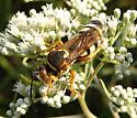 Wasp 2 - Stizus brevipennis