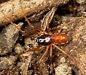 Orange and Brown Spider - Pachygnatha autumnalis