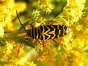 goldenrod bug - Megacyllene robiniae