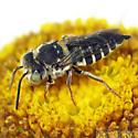 Cuckoo-leaf-cutter bee - Coelioxys rufitarsis? - Coelioxys rufitarsis - female
