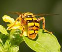 Milesia virginiensis