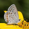 Karner Blue - Plebejus melissa - male