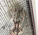 Winged Insect - Vella americana