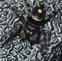 black/white spider with tan spot - Phidippus audax