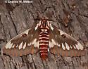 Citheronia splendens sinaloensis - Citheronia splendens - male