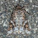 moth - Trichordestra liquida