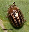 Possibly Agroiconota bivittata - Agroiconota bivittata