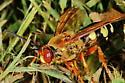 Wasp- Hornet  - Sphecius speciosus