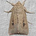 Hodges#10463 - Leucania pilipalpis