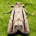 Hodges #10036 - Catabenoides terminellus - female