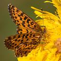 Fritillary - Boloria chariclea