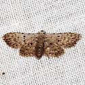 Stippled Sigela Moth - Sigela penumbrata