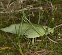 Katydid 2262 - Scudderia pistillata - male