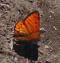 Lustrous Copper C - Lycaena cupreus - male