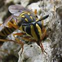 syrphid - Sphecomyia vittata - male - female