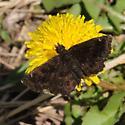 Staphylus hayhurstii - Hayhurst's Scallopwing - Staphylus hayhurstii