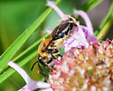 Cellophane Bee? - Andrena