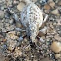 Weevil..? - Agraphus bellicus