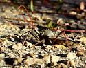 Wheel bug - Arilus cristatus