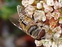 Syrphid Fly - Palpada alhambra
