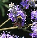 American Bumble Bee? - Bombus crotchii