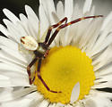 Thomisidae, Goldenrod Crab Spider, dorsal - Misumena vatia - male