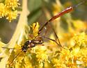 Ichneumon wasp? - Eiphosoma - female