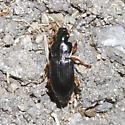 Calathus sp ? - Anisodactylus binotatus - male