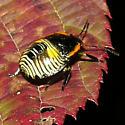 Stink Bug maybe, 9-27-2020 - Chinavia hilaris
