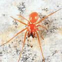 spider - Ceratinopsis interpres - male