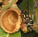 wasp at gall - Leucospis birkmani - male