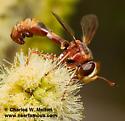 Physocephala texana? - Physocephala texana - female