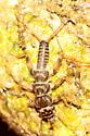 Common Stonefly Nymph - Acroneuria